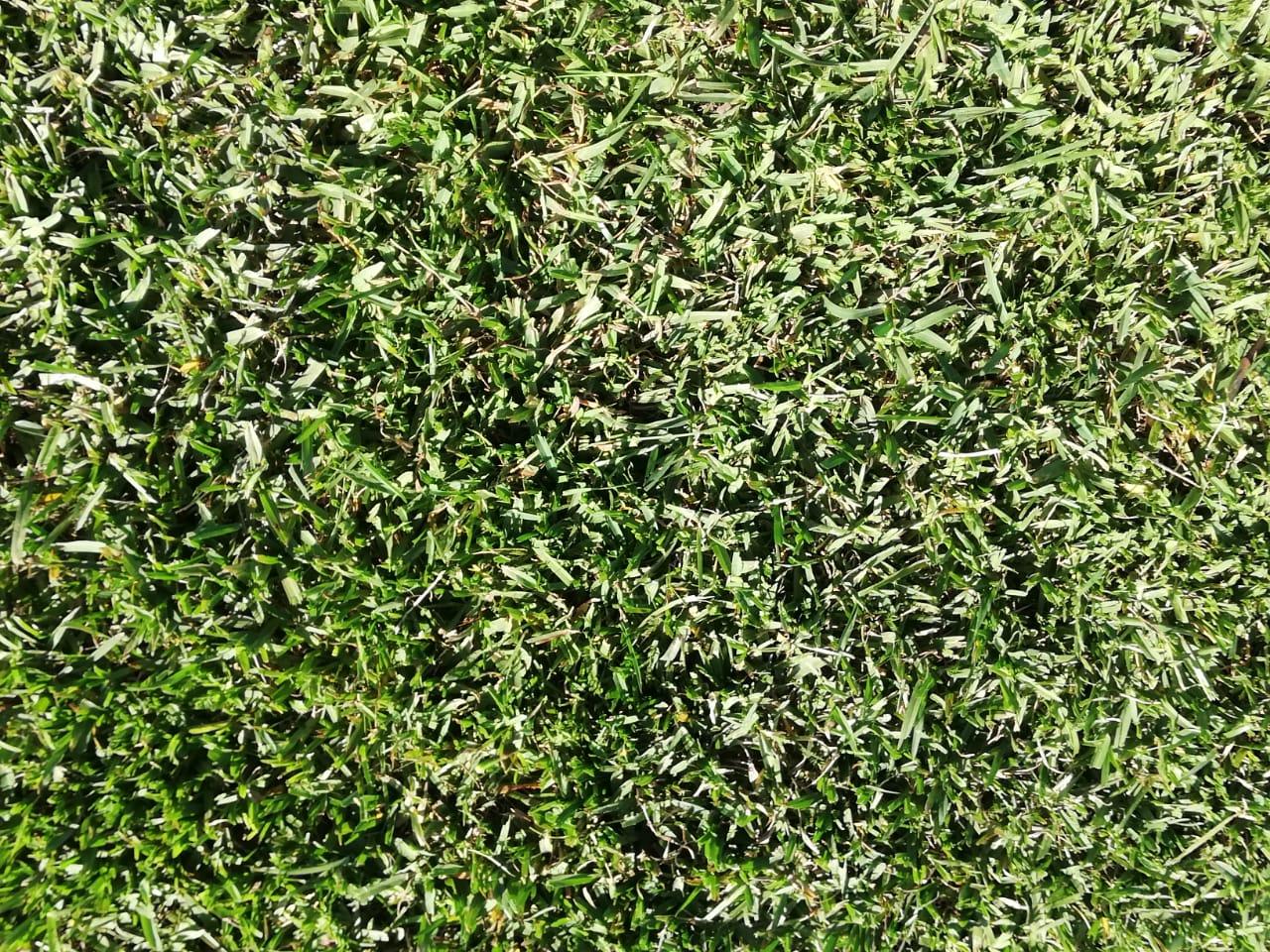 Close-up of Buffalo/Kweek 80/20 Lawn Type